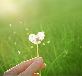 dandelion in shape of a heart .jpg