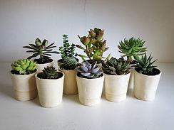 Indoor-succulents-dying.jpg