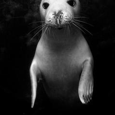 Grey seal pup, Lundy Island