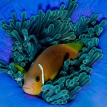 JaneMorgan.Cat1AnemoneFish.jpg