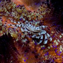 Zebra crab on fire urchin, Komodo.