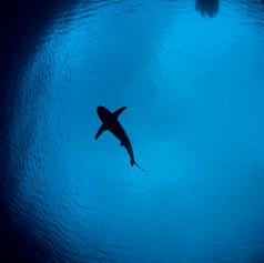 Shark in snells window