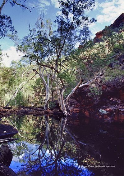 kings_canyon_see_eucalyptus_alt_web_01.j