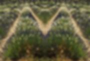 sault_lavendel_symm_spiel_MG_7184_02.png