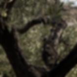 Baux_oliven_schatten_muster_01.png