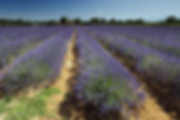 bonnieux_talebene_lavendel_MG_0255_01.pn