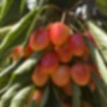 luberon_kirschen_detail_MG_6806_groesse_