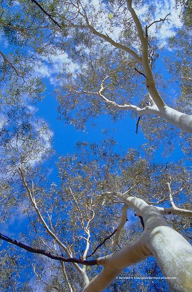 kings_canyon_eucalyptus_im_himmel_img002