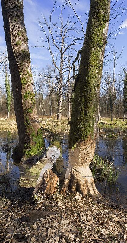 Biberlandschaft_frasspuren_pano_02_web.j