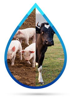 Water disinfection livestock disinfection