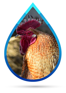 water disinfection poultry