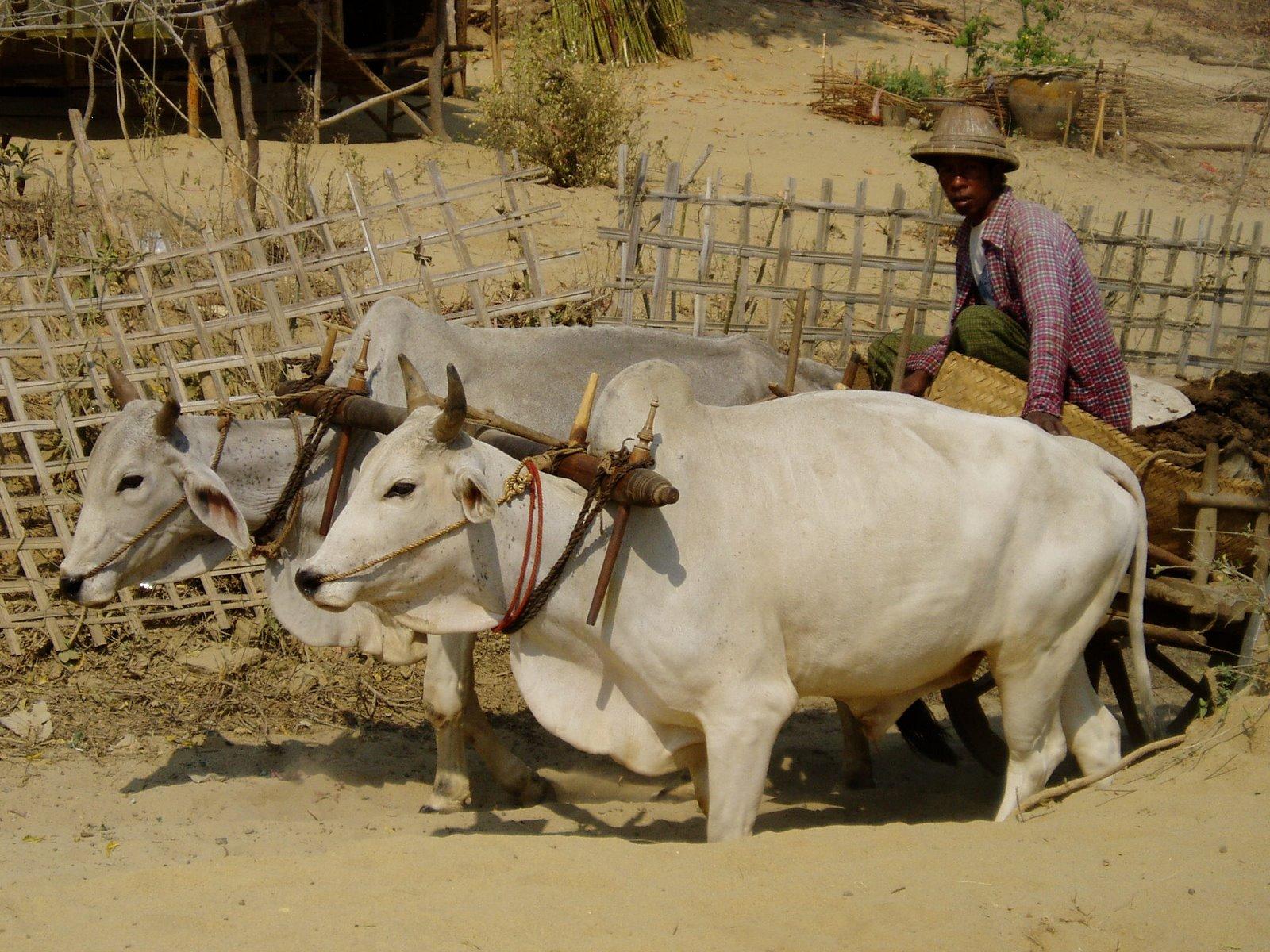 Ochsenkarren Bagan/ Myanmar