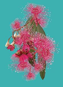 Pink Eucalypt