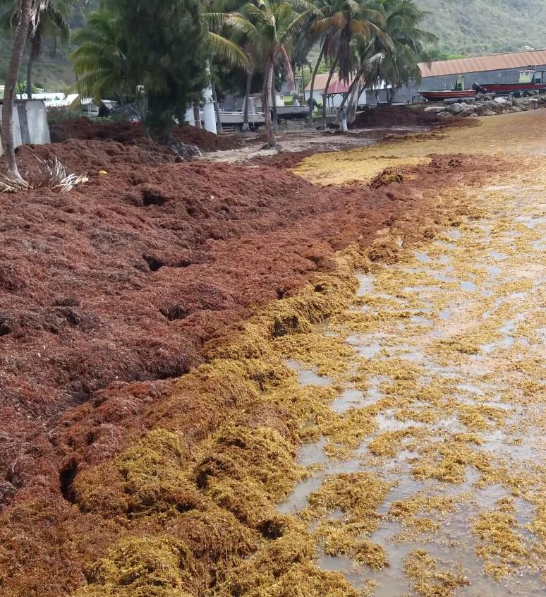 Sargasses - La Riviera du Levant Guadeloupe 3