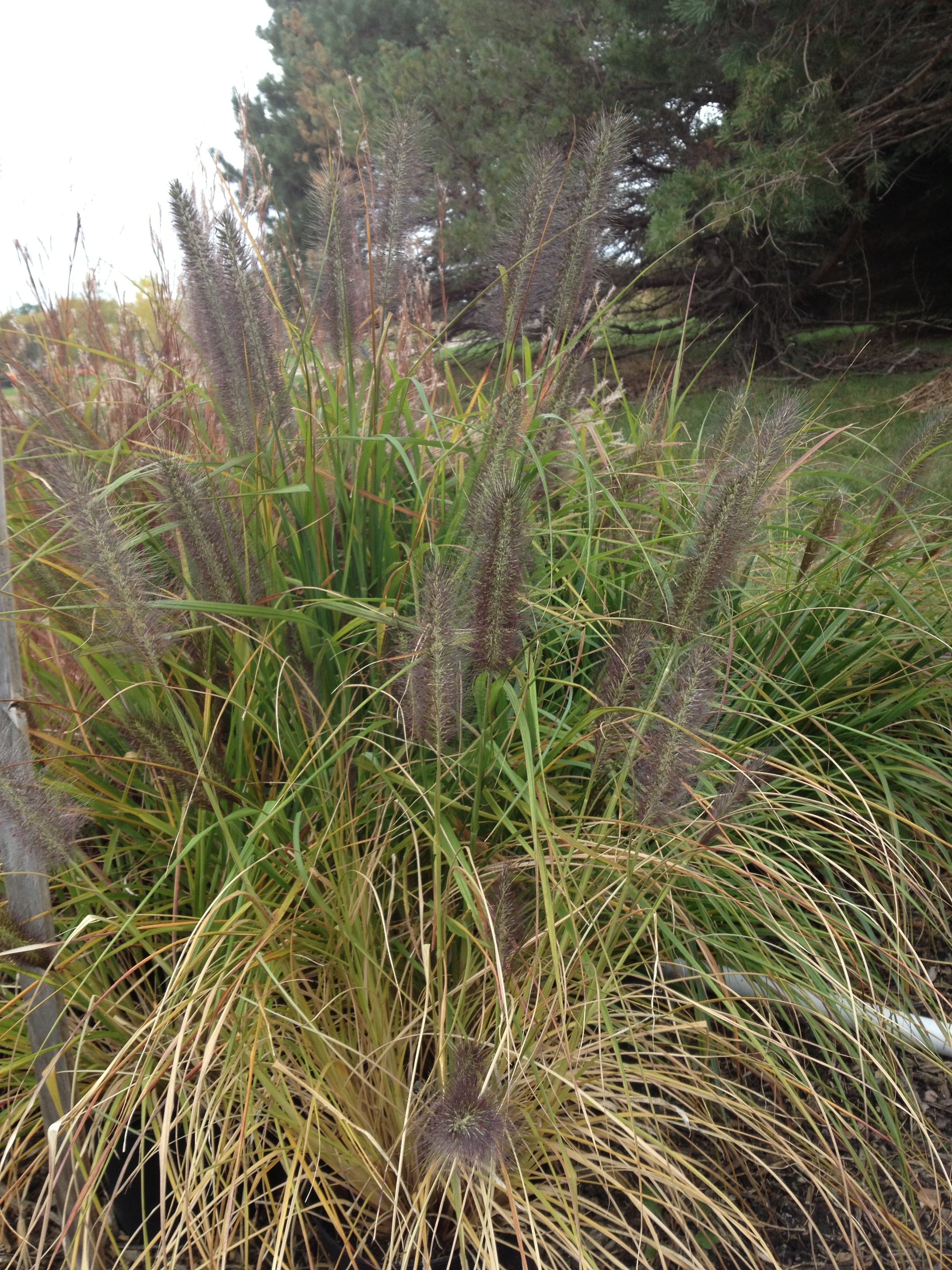 MOUDRY (BLACK FOUNTAIN GRASS)