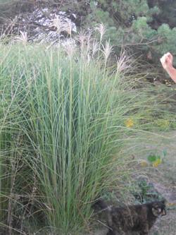GRACILLIMUS (MAIDEN GRASS)