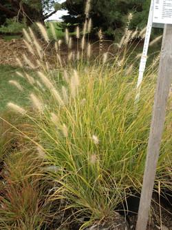 CASSIAN (DWARF FOUNTAIN GRASS)