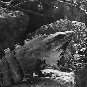 Iguana, Uxmal