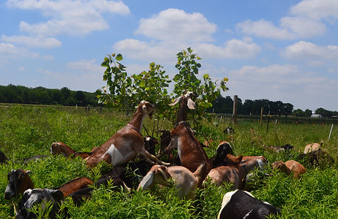 goats browsing on cottonwood trees in pa