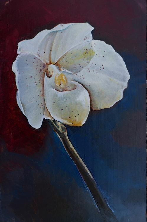 White Slipper orchid 2019 red & blue
