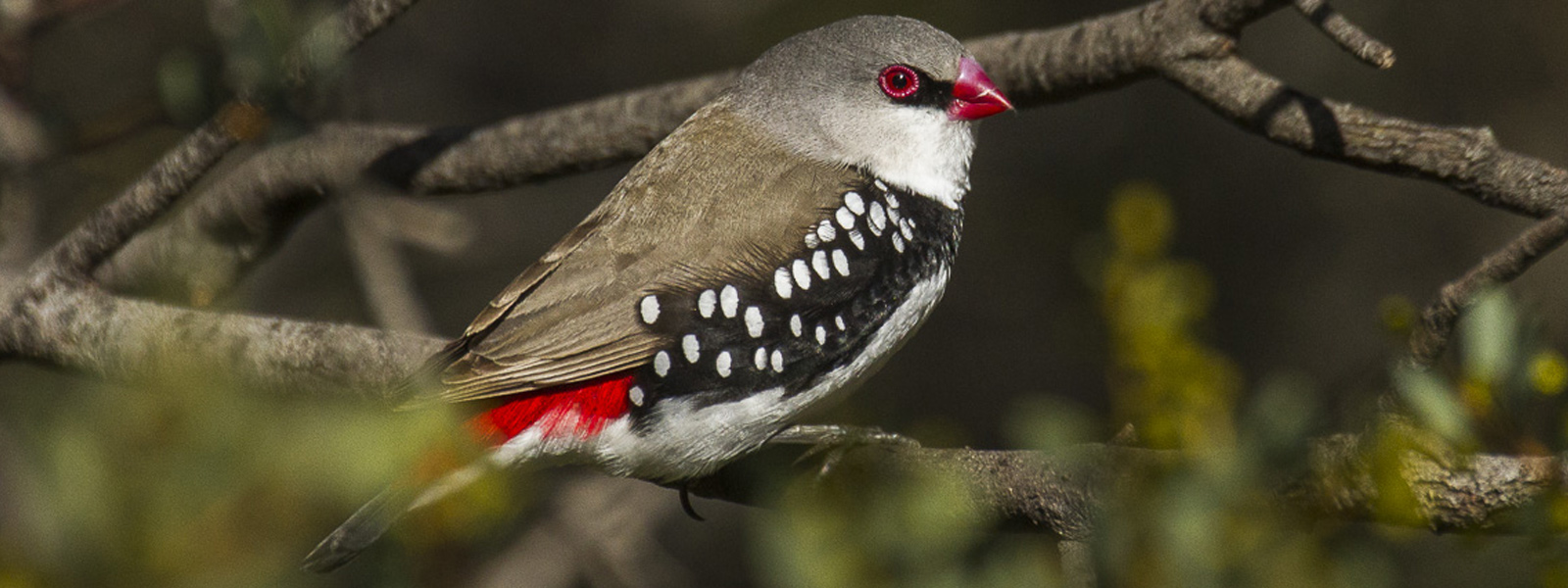 diamond-firetail