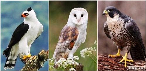 Aves de Rapina.jpg