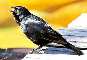 Pássaro-Preto 2.jpg