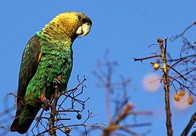 papagaio do cabo