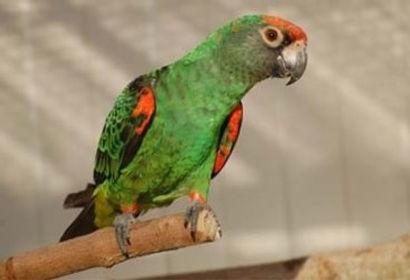 Papagaio Jardine.jpg