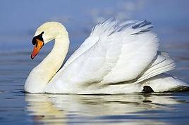 cisne-branco-wallpaper.jpg
