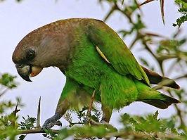 Papagaio_de_Cabeça_Marrom.jpg
