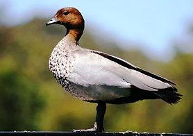 marreco Maned Goose.jpg