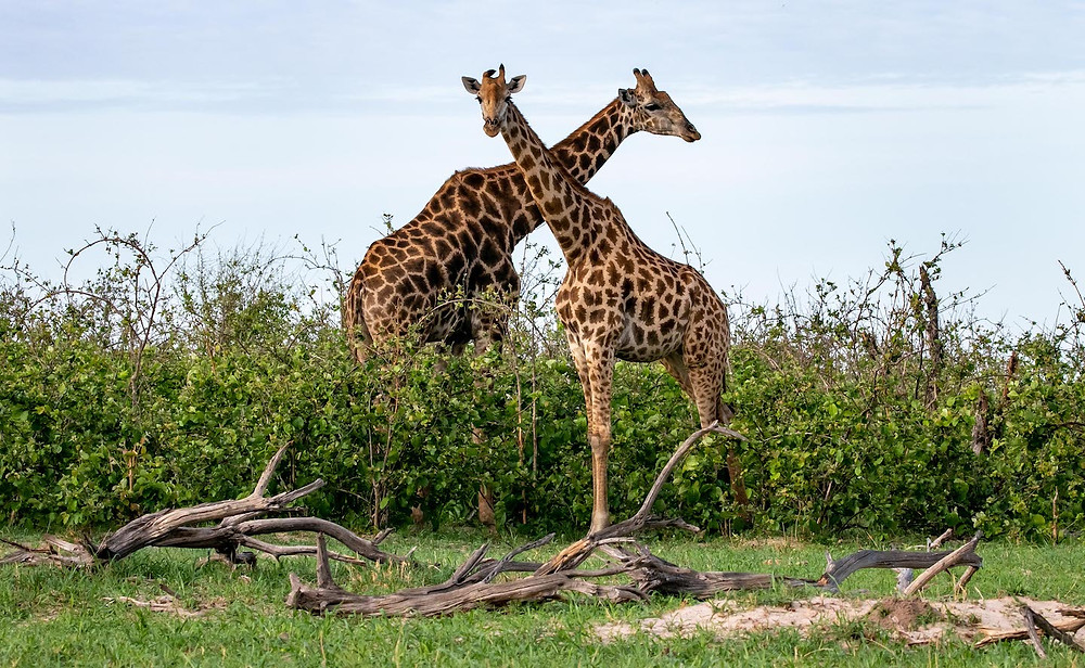 Giraffes Hwange National Park Zimbabwe
