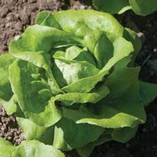 Rex Green Lettuce