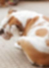 Bulldog Scratching
