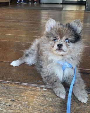 Merle Pomeranian stud