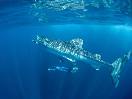 Um mergulho com o maior tubarão do planeta!