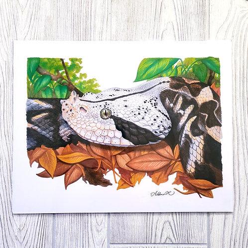 Gaboon Viper 11x14 Print