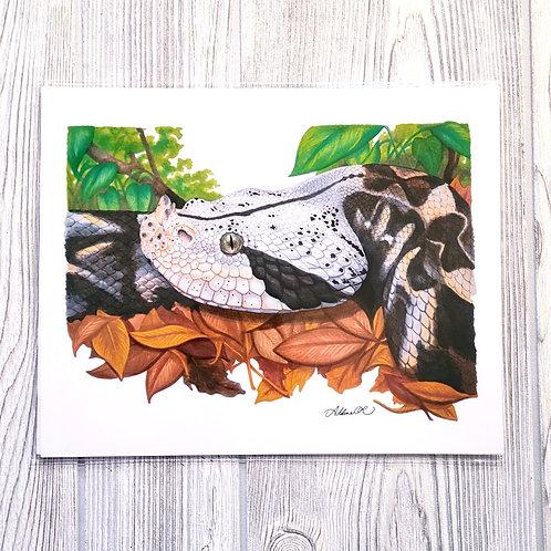Gaboon Viper 8x10 Print