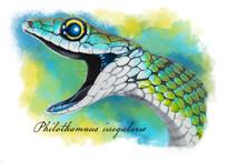Philothamnus irregularis