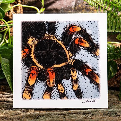Red Knee Tarantula Medium 8x8 Square Print