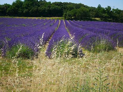 Foto Biolavendel der Provence.JPG