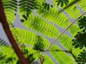 Heb jij al gehoord van het wondermiddel Acacia Concinna?