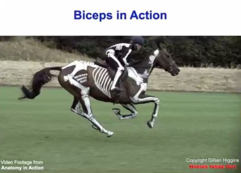 galloping horse, stretch and recoil, biceps catapult, moment of suspension, webinar, bioimechanics