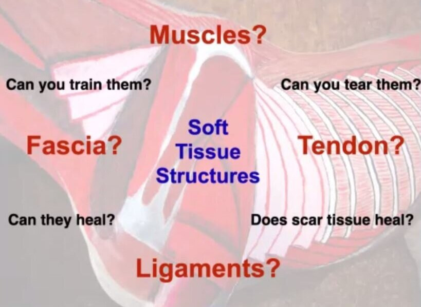 What's the difference between muscles, fascia, tendon and ligament in horses? Can you train them? Can you tear them? Can fascia heal? does scar tissue heal? equine superficial and deep skeletal musculature