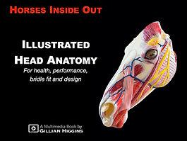 horse head anatomy, skull, equine, fascial nerves, fascial muscles, blood vessels, hyoid apparatus, TMJ, temporomandibular joint