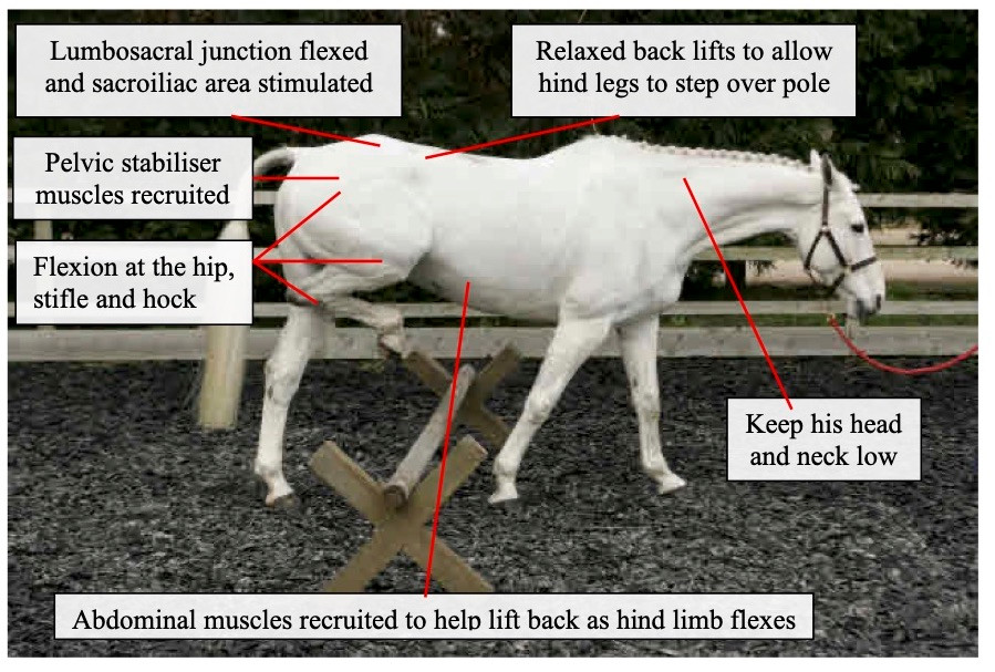 pilates for horses, raised walk pole, lumbosacral  core stability, back mobility, equine hip mobility