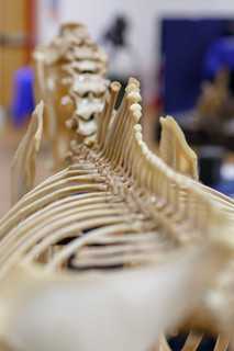 A unique view of the thoracic vertebrae, the area on which we sit!