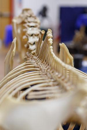 horse bones, skeleton, spine, equine anatomy