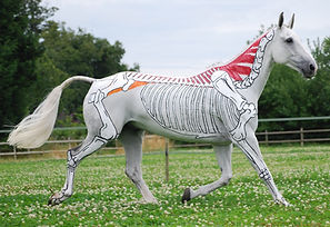equine anatomy skeleton and nuchal ligament painted on horse in motion, trotting